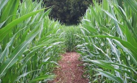 Brookdale-farms-corn-maze_grid_6