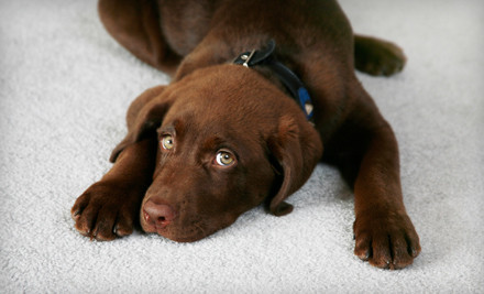 Safe Carpet Cleaning for Pets